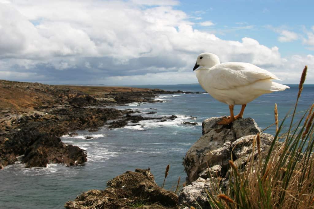 Wildlife---Kelp-Gander-credit-Allan-White