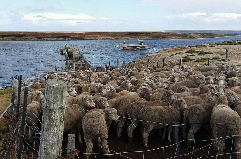 Economy - sheep